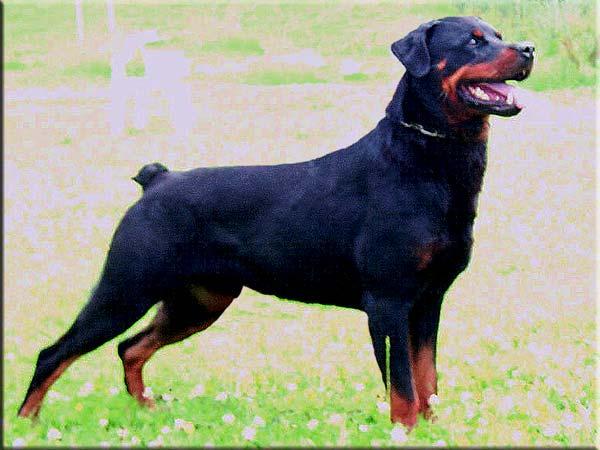 Rottweiler Dog Profile Sultan Von Kaisersteinbruch ...